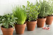 Row of brown terracotta pots with fresh green kitchen herbs, sage,mint,rosemary,oregano and chives poster