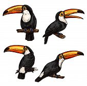 Set Of Toucans. Exotic Bird Toucan. Hand Drawn Toucan On White Background. Vector Set Of Tropical Bi poster