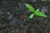 Marijuana Weed Smoking Close Up On Background poster