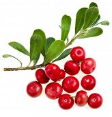 picture of bearberry  - Bearberry  - JPG