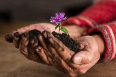 Gardener Cupping A Delicate Purple Flower In A Mound Of Dark Fertile Soil In His Hands With Focus To poster