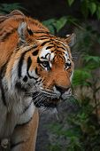 Close Up Portrait Of Mature Siberian Tiger Male poster