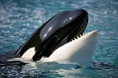 stock photo of orca  - Killer whale dancing in the ocean  - JPG