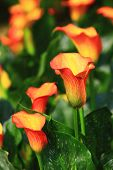 Постер, плакат: Calla Lily Field Closeup beautiful Yellow With Red Flowers Of Calla Lily Blooming In The Garden In S