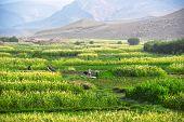 Self-sufficient Labor-intensive Farming In Morocco poster