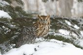 pic of screech-owl  - Different color phases for two screech owls in winter - JPG