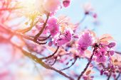 Japanese Cherry Tree Lit By Sunlight, Flowering Cherry Tree - Beautiful Flowering, Blooming Japanese poster