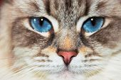 Siberian Neva Masquerade Close Pp Cat Face. Main Focus On Nose. Cat Deep Blue Eyes Blurry And Goes I poster
