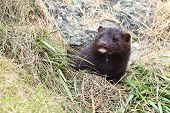 Wild Mink Mustela Lutreola Looking From Burrow - Wild Predatory Furry Animal Hunting In Nature. poster
