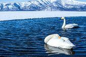Whooper Swan Or Cygnus Cygnus Swimming On Lake Kussharo In Winter At Akan National Park,hokkaido,jap poster