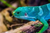 The Face Of A Male Fiji Banded Iguana In Closeup, Tropical Lizard From The Fijian Islands, Endangere poster