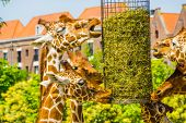 Reticulated Giraffes Eating Hay From A Basket, Zoo Animal Feeding Equipment, Endangered Animal Speci poster