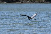 A Graceful Great Blue Heron Flying Low Over The Surface Of A Lake With Its Long Elegant Wings Extend poster