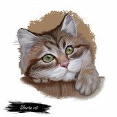 Siberian Cat Landrace Variety Domestic Cat, Present In Russia. Siberian Forest Cat, Moscow Semi-long poster