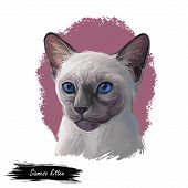 Siamese Cat Lilac Point Oriental Wichianmat Landrace, Cat Native To Thailand Known As Siam. Digital  poster