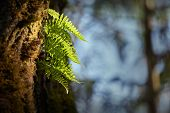 Ferns Grow On Tree. A Shaft Of Sun Hits A Fern In A Temperate Rainforest Of The Pacific Northwest. poster