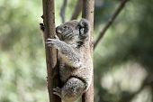 The Joey Koala Is Climbing Down The Tree poster