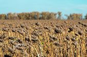 Withered Sunflowers In The Autumn Field. Mature Dry Sunflowers Are Ready For Harvest. Bad Harvest Of poster