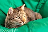 Cat On A Green Background. Gray Tabby Cat. Cat Food. Adult Cat. Close-up. poster