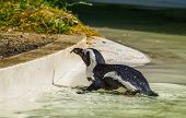 Black Footed Penguin Swimming To The Coast, Flightless Bird From Africa, Endangered Animal Specie poster