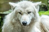 Arctic Wolf (canis Lupus Arctos) Also Known As White Wolf, Closeup In Rain poster