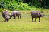 pic of female buffalo  - Buffalo in wildlife - JPG