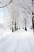 pic of birchwood  - the winter road passing through a birchwood - JPG