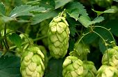 stock photo of hop-plant  - Fresh Crop Of Hops Growing On Hops Plant - JPG