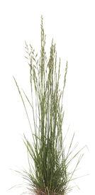 stock photo of fescue  - young tuft grass  - JPG