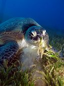 pic of green turtle  - A green turtle  - JPG
