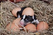 Newborn basenji puppy in nest