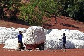 The Cotton Harvest