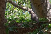 An Almost Grown African Harrier Hawk Or Gymnogene Calling For A Parent