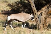 Oryx Antelope Hitting A Tree