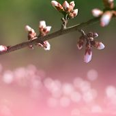 beautiful sakura, cherry, spring, season, apple, peach blossom buds