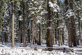 foto of sequoia-trees  - Giants Sequoia Grove in the Mariposa - JPG