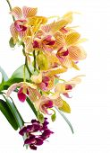 Blooming Branch Stripped Orange Orchid And Black Purple Orchid, Phalaenopsis Is Isolated On White Ba