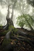 Tree with big twisted roots in an enchanted forest with fog