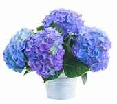 picture of lilac bush  - posy   of blue hortensia flowers in metal pot  isolated on white background - JPG