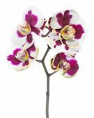 Blooming Beautiful Motley With Spots Lilac Orchid Flower, Phalaenopsis Is Isolated On White Backgrou