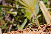 stock photo of wart  - A curious little Barking Tree Frog on a log - JPG