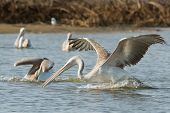 Pink-backed Pelicans Making A Strike For Fish