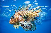 picture of aquatic animal  - Pterois Commonly Known as Lionfish - JPG