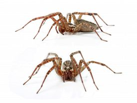 picture of hobo  - The Hobo Spider - JPG