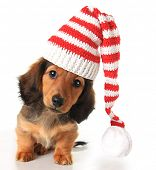 stock photo of christmas puppy  - Longhair dachshund puppy wearing a Christmas Santa hat - JPG