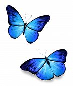 picture of flying-insect  - Two blue flying butterflies on white background - JPG