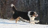 stock photo of snow border  - Border collies has snow fun with his ball  - JPG
