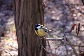 picture of great tit  - Great tit on a branch of a tree in the park - JPG