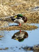 pic of male mallard  - A male Mallard is perched on a dirt clump and casts a relection in the water - JPG