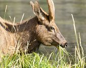 image of mule  - Adult mule deer grazing along the Firehole River in Yellowstone National Park - JPG
